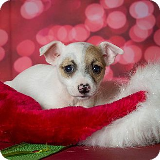 Jack Russell Terrier/Chihuahua Mix Puppy for adoption in Plano, Texas - Madison