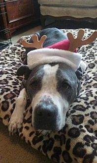 American Pit Bull Terrier Dog for adoption in Richmond, California - Tex