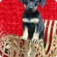 Adopt A Pet :: BINGO - Westminster, CO