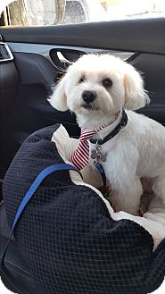 Maltese Mix Dog for adoption in San Diego, California - Austie