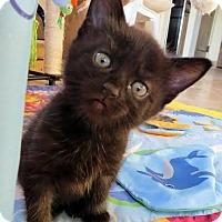 Adopt A Pet :: Gabbana - Chandler, AZ