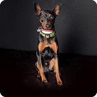 Adopt A Pet :: Wally - Van Nuys, CA