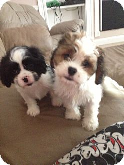 king charles spaniel shih tzu mix candy and bee adopted puppy lonedell mo cavalier 247