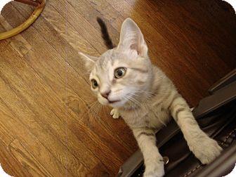 Domestic Shorthair Kitten for adoption in St. Louis, Missouri - Zoe