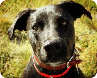 Boxer/Labrador Retriever Mix Dog for adoption in Cheyenne, Wyoming - Sage