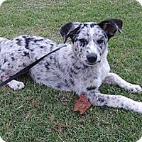 Adopt A Pet :: *Josie - PENDING - Westport, CT