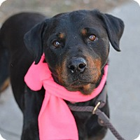 Adopt A Pet :: Blue - Frederick, PA
