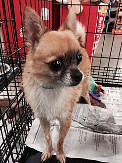 Pomeranian/Chihuahua Mix Dog for adoption in Fresno, California - Ed