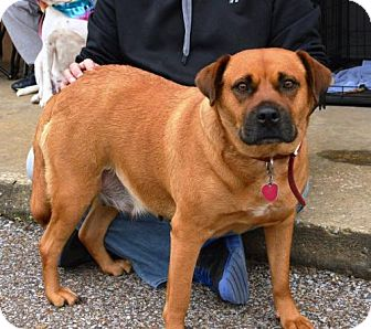 Boxer Mix Dog for adoption in Tunica, Mississippi - Goldie  SWEET GIRL