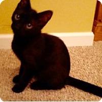 Adopt A Pet :: Amelie - McHenry, IL