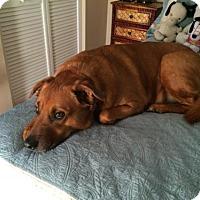 Adopt A Pet :: SUGAR - (CP-JW) - Tampa, FL