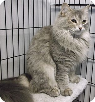 Domestic Mediumhair Cat for adoption in Farmington Hills, Michigan - Sammie