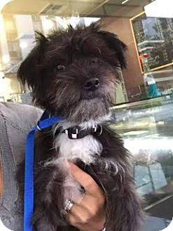 Terrier (Unknown Type, Small) Mix Dog for adoption in San Francisco, California - Murphy