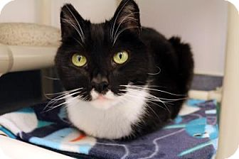 Domestic Mediumhair Cat for adoption in Bellevue, Washington - Domino