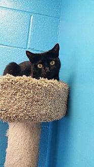 Domestic Shorthair Cat for adoption in Oakland, New Jersey - Morticia