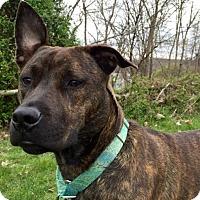 Adopt A Pet :: Cleo - Pittsburgh, PA