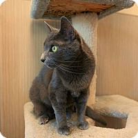 Domestic Shorthair Cat for adoption in Kingston, Washington - Graysea