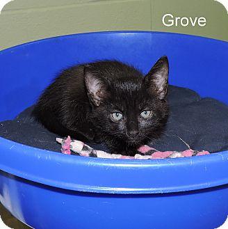 Domestic Shorthair Kitten for adoption in Slidell, Louisiana - Grove
