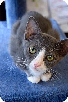 Domestic Shorthair Kitten for adoption in Island Park, New York - Laverne