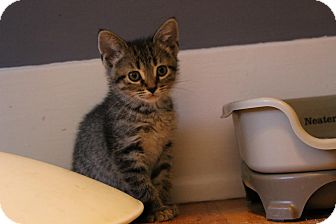 Domestic Shorthair Kitten for adoption in Rochester Hills, Michigan - Iris