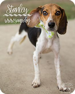 Beagle Mix Dog for adoption in Newport, Kentucky - Stanley