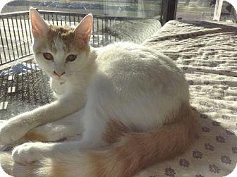 Domestic Shorthair Cat for adoption in Monticello, Iowa - Sulu