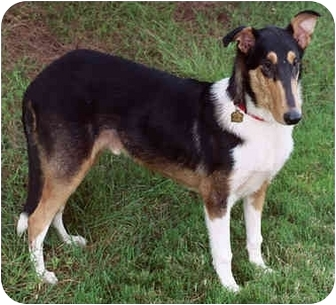 Collie Dog for adoption in San Diego, California - Shine