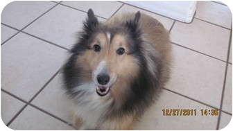 Sheltie, Shetland Sheepdog Dog for adoption in apache junction, Arizona - Avery