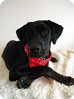 Labrador Retriever/Retriever (Unknown Type) Mix Puppy for adoption in Monteregie, Quebec - Ryker