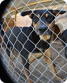 Rottweiler/Labrador Retriever Mix Dog for adoption in Miami, Florida - Tyson