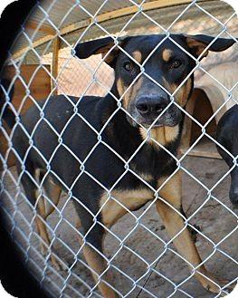 Rottweiler/Labrador Retriever Mix Dog for adoption in Miami, Florida - Tyson