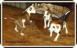 Pit Bull Terrier/American Bulldog Mix Puppy for adoption in Cincinnati, Ohio - Elvis