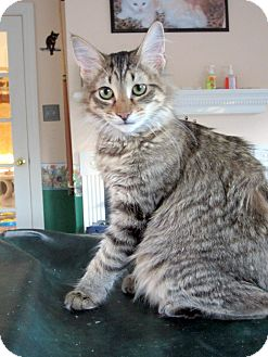 Maine Coon Cat for adoption in Arlington, Virginia - Harmony