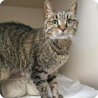 Domestic Shorthair Cat for adoption in Denver, Colorado - Tyja