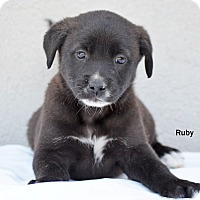 Adopt A Pet :: Ruby - Old Saybrook, CT