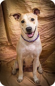 Labrador Retriever Mix Dog for adoption in Anna, Illinois - ELIZABETH