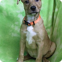 Adopt A Pet :: DIVA - Westminster, CO