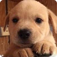 Adopt A Pet :: Manicotti - Barnegat, NJ