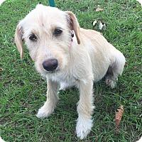 Adopt A Pet :: Kiki - Glastonbury, CT