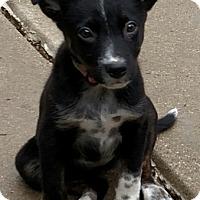 Adopt A Pet :: Sheila - Flossmoor, IL