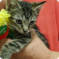 Domestic Shorthair Kitten for adoption in Alhambra, California - Tony