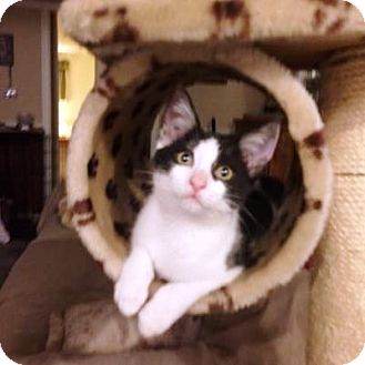 Domestic Shorthair Kitten for adoption in Pasadena, California - Panda