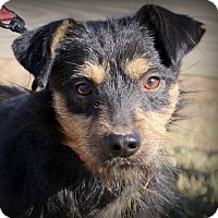 Brussels Griffon/Fox Terrier (Wirehaired) Mix Dog for adoption in Glastonbury, Connecticut - Scruffy McDuffy~adopted!
