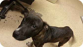 American Pit Bull Terrier/Boxer Mix Puppy for adoption in Marion, Indiana - Zurie