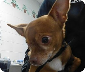 Chihuahua Mix Dog for adoption in Saginaw, Michigan - Mittens