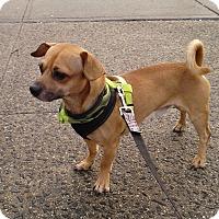 Adopt A Pet :: Buster - Bronx, NY