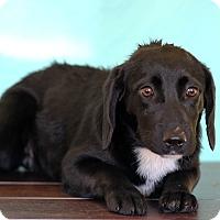 Adopt A Pet :: Cleo - Waldorf, MD