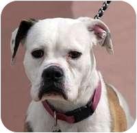 Boxer Mix Dog for adoption in Denver, Colorado - Dayla