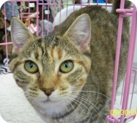 Domestic Shorthair Cat for adoption in Sacramento, California - Freda D