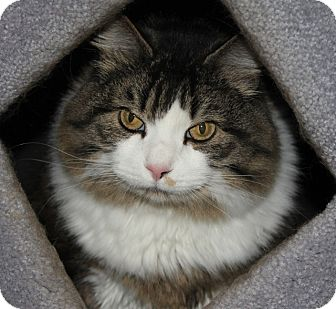 Maine Coon Cat for adoption in Grants Pass, Oregon - Ivy